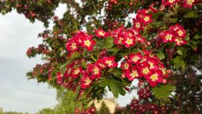 Flores rojas en Autumn Tree Imagen de archivo libre de regalías