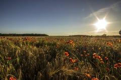 Flores rojas en campo de trigo Foto de archivo
