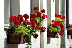 Flores rojas en crisoles Fotos de archivo libres de regalías