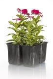 Flores rojas en crisoles de la planta Imagen de archivo
