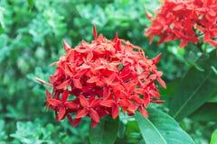 Flores rojas en el bosque Fotografía de archivo libre de regalías