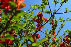 Flores rojas en el cielo azul de la primavera Foto de archivo libre de regalías