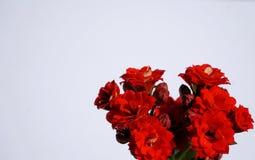 Flores rojas en el fondo blanco Imagen de archivo libre de regalías