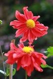 Flores rojas en el jardín Fotografía de archivo