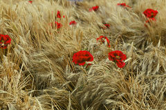 Flores rojas en el medio de los oídos del trigo en el campo Imagen de archivo libre de regalías