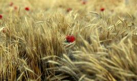Flores rojas en el medio de los oídos del trigo en el campo Imágenes de archivo libres de regalías