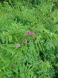 Flores rojas en hierba verde Fotos de archivo libres de regalías