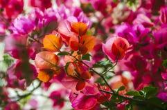 Flores rojas en la ciudad de la playa de Montenegro fotos de archivo