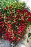 Flores rojas en la planta que sube Foto de archivo libre de regalías