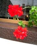 Flores rojas en la ventana Foto de archivo libre de regalías