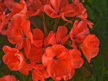 Flores rojas en los brotes de flor Fotos de archivo libres de regalías