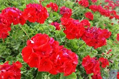 Flores rojas en naturaleza imagenes de archivo