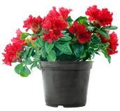 Flores rojas en un crisol plástico en blanco Fotografía de archivo