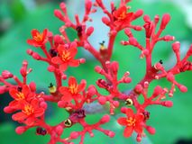 Flores rojas florecientes Foto de archivo libre de regalías