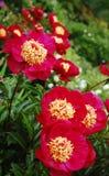 Flores rojas florecientes Fotos de archivo libres de regalías