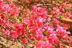 Flores rojas florecientes de la buganvilla imagenes de archivo
