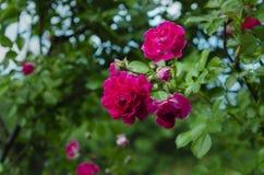 Flores rojas florecientes de Rose fotografía de archivo