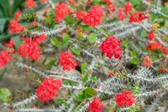 Flores rojas florecientes hermosas del cactus Ciérrese para arriba del cactus blanco fotos de archivo libres de regalías