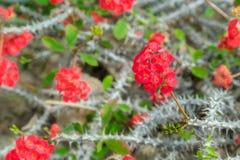 Flores rojas florecientes hermosas del cactus Ciérrese para arriba del cactus blanco imágenes de archivo libres de regalías