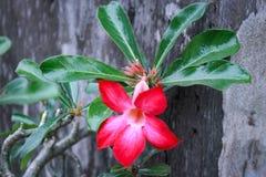 Flores rojas hermosas Fotografía de archivo