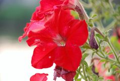 Flores rojas hermosas Imágenes de archivo libres de regalías