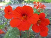 Flores rojas hermosas con efecto del bokeh Fotografía de archivo libre de regalías