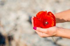 Flores rojas hermosas de la amapola en manos de las mujeres imagenes de archivo