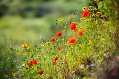 Flores rojas hermosas de la anémona, primer Imágenes de archivo libres de regalías
