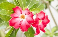 Flores rojas hermosas de la azalea en el jardín Foto de archivo libre de regalías