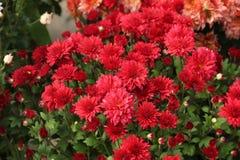 Flores rojas hermosas de los crisantemos en jardín fotos de archivo libres de regalías