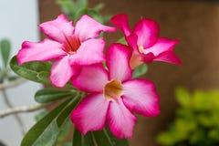 Flores rojas hermosas del Adenium Imágenes de archivo libres de regalías