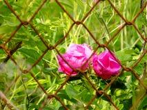 Flores rojas hermosas detrás de la cerca en Lituania Imágenes de archivo libres de regalías