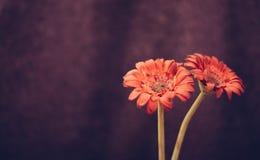 Flores rojas hermosas en bacground púrpura fotografía de archivo