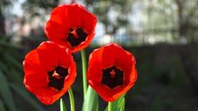 Flores rojas hermosas en casa almacen de video