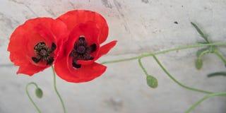 Flores rojas hermosas en fondo del cemento Fotografía de archivo