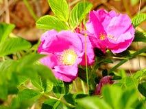 Flores rojas hermosas en Lituania Imagen de archivo libre de regalías
