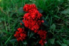 Flores rojas hermosas en Surat Thani verde Tailandia foto de archivo