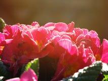 Flores rojas hermosas por la mañana Imagen de archivo