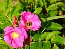 Flores rojas hermosas y la abeja en Lituania Foto de archivo libre de regalías