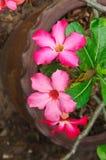 Flores rojas japonesas del frangipani Imagen de archivo
