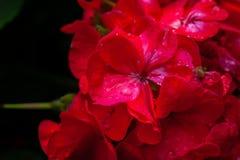 Flores rojas mojadas Imagen de archivo libre de regalías