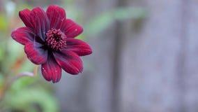 Flores rojas para el jardín Fondo espectacular Imagen de archivo libre de regalías
