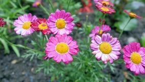 Flores rojas para el jardín Fondo espectacular Imagen de archivo