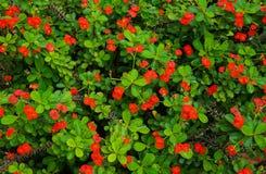 Flores rojas para las decoraciones hermosas fotos de archivo
