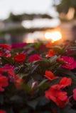 Flores rojas Puesta del sol Fotografía de archivo