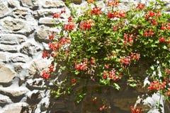 Flores rojas que cuelgan en la pared vieja de la piedra y del yeso - imagen con c Foto de archivo libre de regalías
