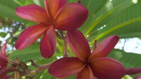 Flores rojas que florecen en árbol del Plumeria en cierre del jardín del verano para arriba Flores del frangipani y hojas hermosa almacen de metraje de vídeo