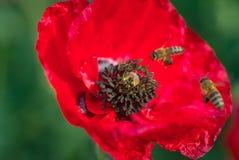 Flores rojas que polinizan Abejas suaves del foco dentro de la amapola Foto de archivo
