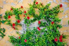 Flores rojas que suben la pared Foto de archivo libre de regalías