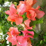 Flores rojas que suben siempre fotos de archivo libres de regalías